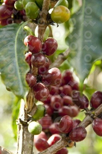 Frutos del Arbol del Café / Coffee Tree Fruits