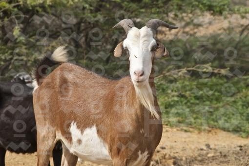Rebaño de Cabras en el desierto,Guajira / Herd of Goats in the desert, Guajira