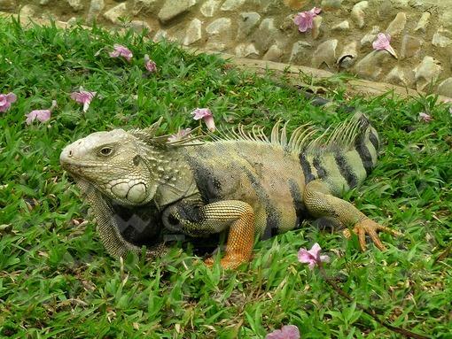 Iguana,Montería