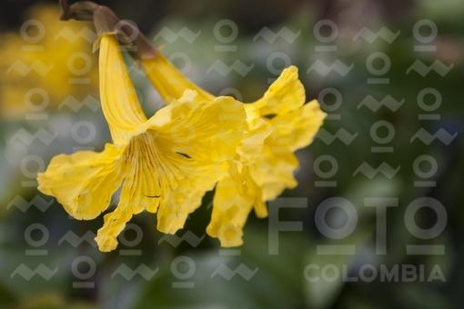 Guayacán amarillo,Medellín,Antioquia /Yellow Guayacan,Medellin,Antioquia