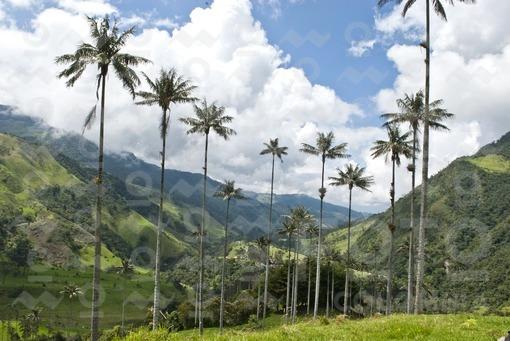 Palma de Cera,(Ceroxylon Quindiuense),Valle de Cocora,Salento,Quindio / Wax Palm, (Ceroxylon quindiu