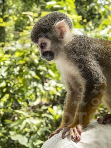 Mono ardilla o mono tití,Amazonas / Squirrel monkey or marmoset,Amazonas