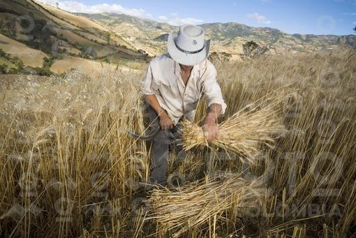 Campesinos cortando trigo