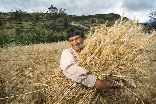 Campesino recogiendo trigo