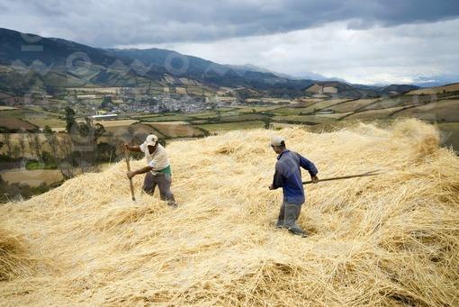 Campesinos recogiendo trigo