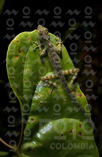 Lagartija / Lizard