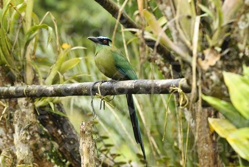 Pájaro Barranquero ( Momotus momota),Risaralda / Burrowing Bird ( Momotus momota),Risaralda