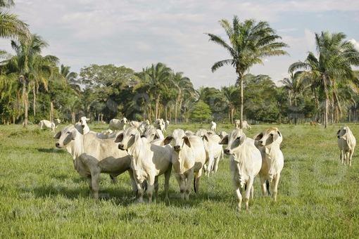 Ganado Cebú,Casanare / Cattle Cebpu,Casanare