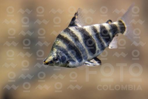 Pez Leporino,Acuario Parque Explora,Medellín,Antioquia / Leporino fish,Explore Park,Medellin,Antioquia