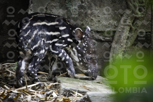 Danta,Zoológico Santa Fé de Medellín,Antioquia / Tapir,Santa Fe Zoo in Medellin, Antioquia