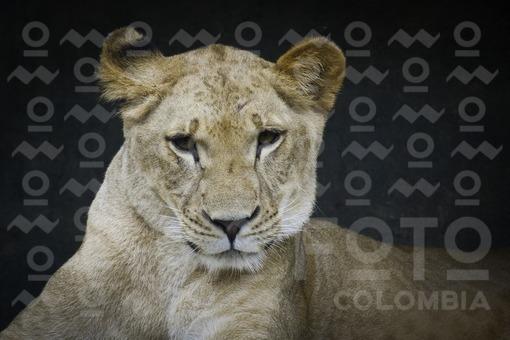 Leona,Zoológico Santa Fé de Medellín,Antioquia / Lioness,Santa Fe Zoo in Medellin, Antioquia