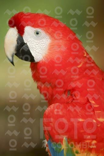 Guacamaya Tricolor,Amazonas / Macaw tricolor,Amazonas