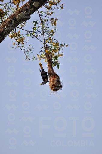 Arrendajo en su nido,Arauca / Arrendajo in its nest,Arauca