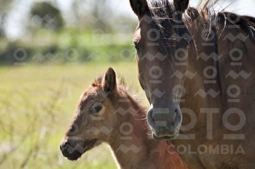 Yegua y su cria,Arauca / Mare and her young