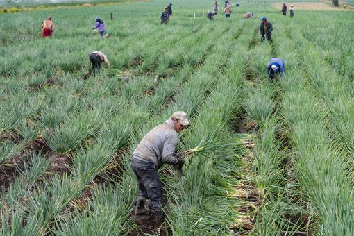 Cultivo de cebolla junca,Tunja,Boyacá / Growing onion junca,Tunja,Boyaca