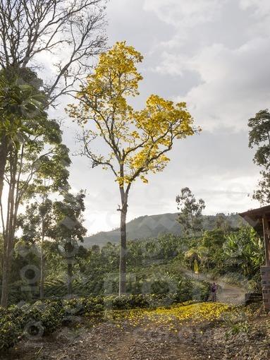 Guayacán amarillo,Fredonia,Antioquia / Yellow Guayacan,Fredonia,Antioquia