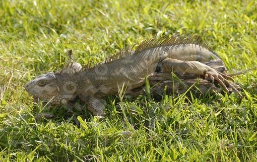 Iguana / Iguana