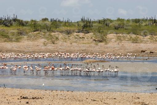 Flamingos en la Represa La Gran Via,Guajira / Flamingos,La Gran Vía Reservoir,Guajira
