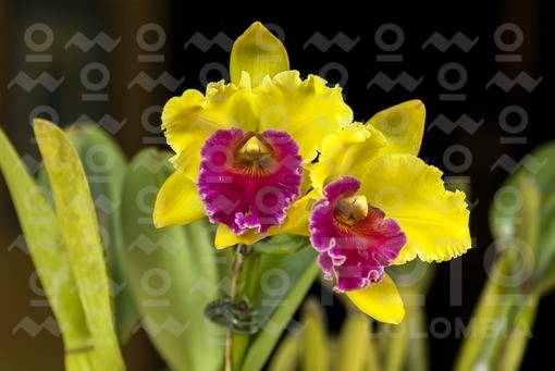 Orquídea,Popayán,Cauca / Orchid,Popayán,Cauca