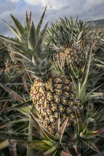 Cultivo de Piña,Lebrija,Santander / Pineapple cultivation,Lebrija,Santander
