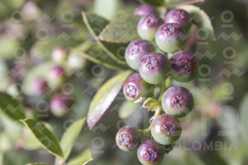 Mortiño (vaccinium meridionale swartz)