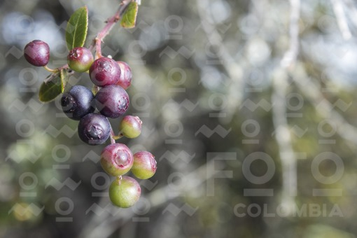 Mortiño (vaccinium meridionale swartz)